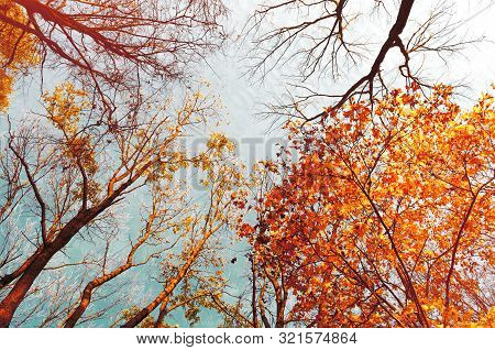 Fall tree tops - orange fall tree tops against blue sky. Fall trees branches on the background of blue sky in sunny fall weather