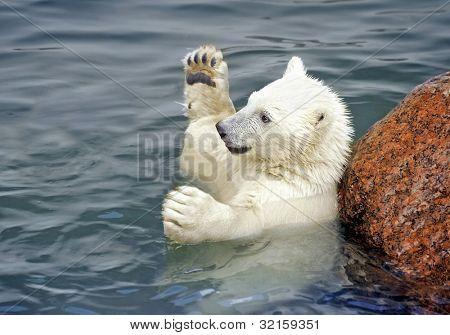 Polar bear baby play in water