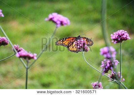 A Monarch Butter Fly Perched On A Flower.