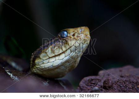 Wild  Viper