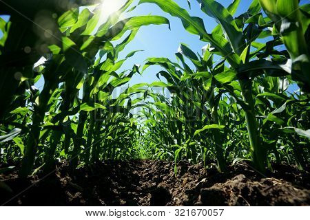 Close up agricultural corn field of countryside landscape in sunny day