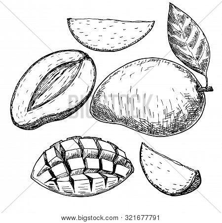 Vector Mango Hand Drawn Sketch . Sketch Food Illustration