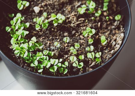 Pot Of Small Basil Seedlings And Leaves By The Window