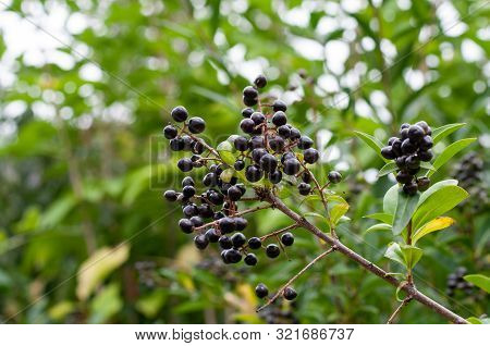 Ripe Berries Of Ligustrum Vulgare Or Privet, A Poisonous Plant And Common Garden Hedge