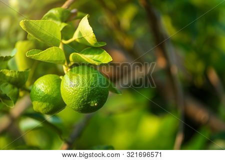 Close Up Of Green Lemons Grow On The Lemon Tree In A Garden Citrus Fruit Thailand.