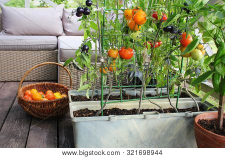 Container Vegetables Gardening. Vegetable Garden On A Terrace. Red, Orange, Yellow, Black Tomatoes G