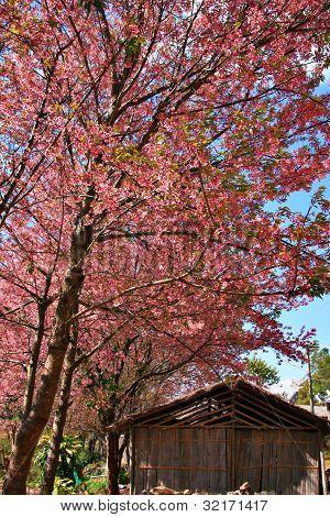 Pink Sakura Thailand With Old Wood Cottage