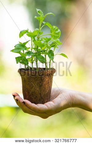 Watercress With Coconut Coir Fiber Pot On Woman's Right Hand In The Garden, Organic Vegetables