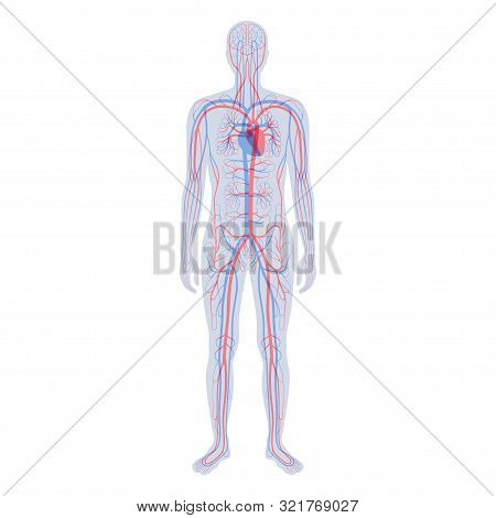 Vector Isolated Illustration Of Human Arterial And Venous Circulatory System Anatomy In Man Silhouet