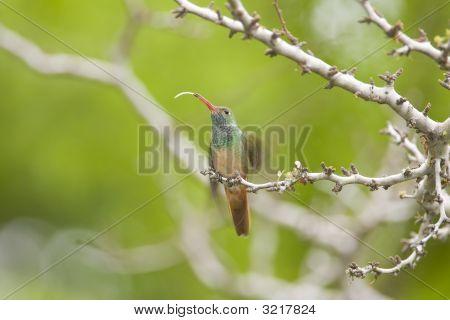 Buff-Bellied Hummingbird Tests The Air
