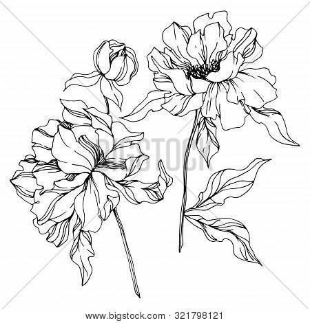 Peony Floral Botanical Flowers. Black And White Engraved Ink Art. Isolated Peonies Illustration Elem
