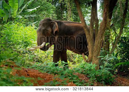 Asian Elephant - Elephas Maximus In The Thai Jungle, Also Called Asiatic Elephant, Only Living Speci