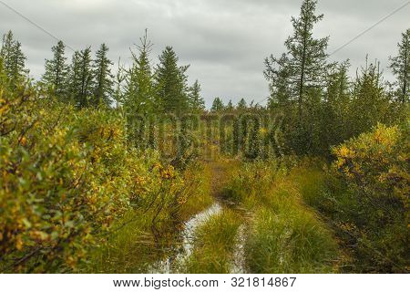 Beautiful Landscape Of Forest-tundra, Autumn In The Tundra. Yellow Spruce Branches In Autumn Colors