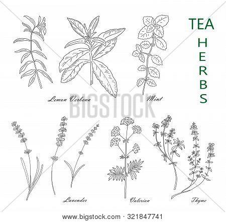 Tea Herbs Set Isolated On White Background. Vintage