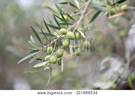 Olive trees garden. Mediterranean olive farm ready for harvest. Italian olive's grove with ripe fresh olives.