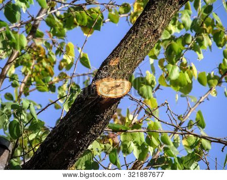A Wound Of A Trimmed Branch On An Apricot Tree Close-up, On A Background Of Green-yellow Leaves And