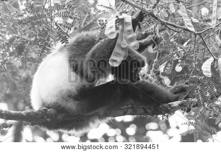 Indri, The Biggest Lemur Of The World, Sitting In A Tree