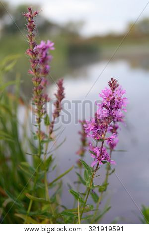 Purple Lythrum (lythrum Salicaria) Against The Background Of The River Closeup