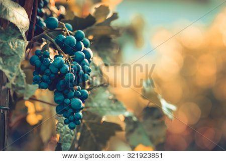 Reife Rotweintrauben Auf Einer Weinrebe Bei Sonnenuntergang