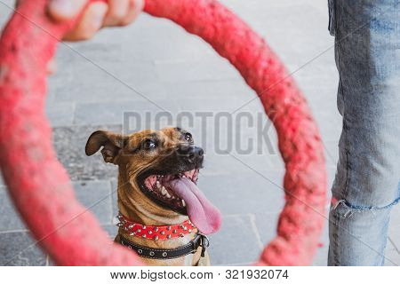 Untypical Dog Portrait Playing With Her Owner. Active And Funny Puppy Looking At A Puller Toy In Hum