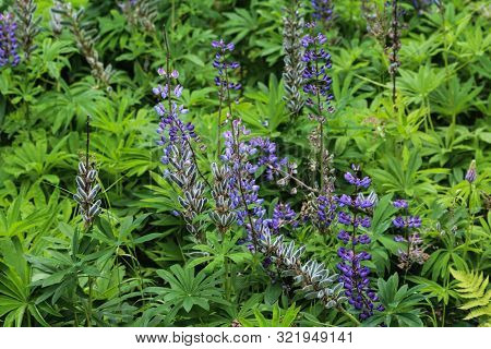 Lupinus Polyphyllus Flower, Known As Big-leaved Lupine, Many-leaved Lupine Or, Garden Lupin