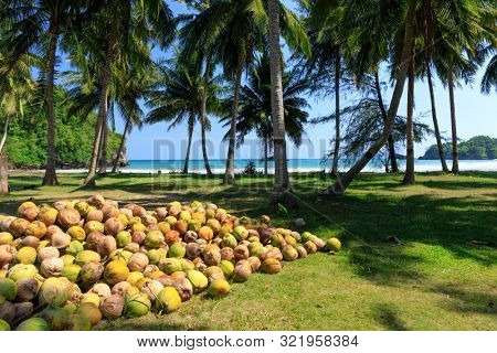 Stack of fresh harvested coconut fruits near the tropical shore, Thailand