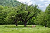 A flock of sheep resting on the shadow of a huge tree located on the green meadow poster