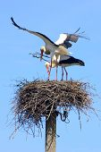 Pair of white storks building the nest poster