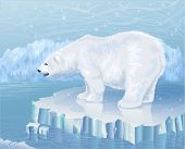 Polar bear standing on an ice floe poster