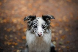 Marble Border Collie Dog In A Beautiful Autumn Park.