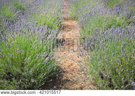 Mountain Lavender Field On Hvar Island, Dalmatia, Croatia