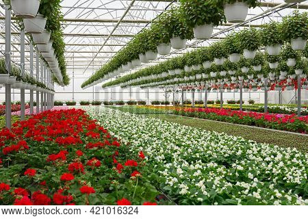 Front View Of Large Glass Greenhouse With Flowers. Growing Flowers In Greenhouses. Interior Of A Mod