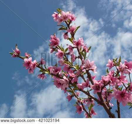 Bright Pink Sakura Flowers Against A Blue Sky With White Clouds. Bottom View.