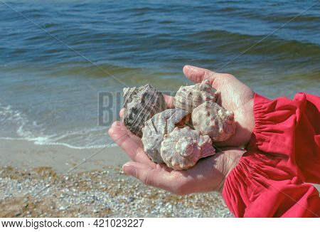 Rapana Is A Genus Of Large Predatory Sea Snails, Marine Gastropod Mollusks In The Family Muricidae,