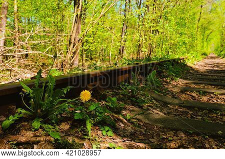 Close-up View Of Dandelion Near Old Rusty Railway In The Natural Tunnel Formed By Trees. Famous Tunn