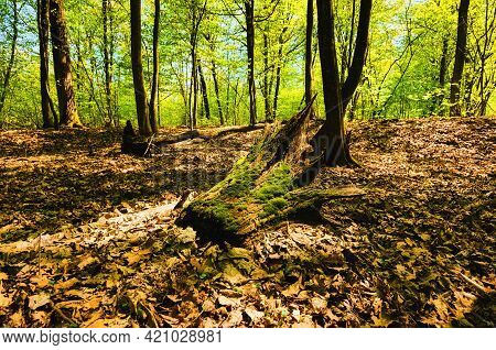 Detailed View Of Old Rotten Stump In The Forest. Close Up View Of Rotten Tree Trunk In The Forest. R