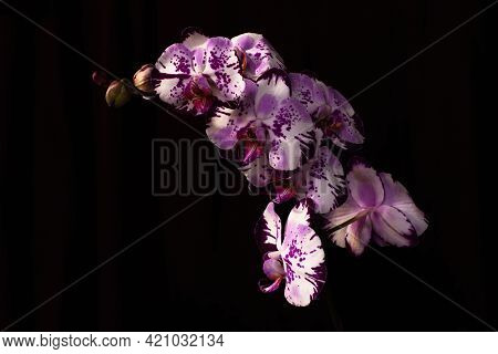 Pink Orchid Branch Heavy Blossoming With Large White Flowers On Dark Background. Pink Phalaenopsis O