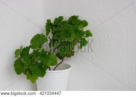 Royal Green Geranium, Garden Pelargonium In Flower Pot On White Background.