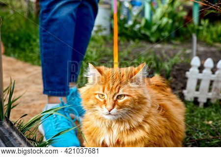 A Ginger Cat On A Harness And Leash Walking Outside With His Owner. Cat Is In Move