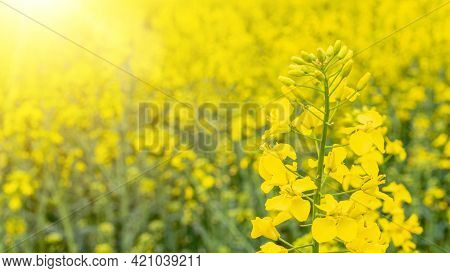Canola Oil. Rapeseed Plant, Colza Rapeseed For Green Energy. Yellow Rape Flower For Healthy Food Oil