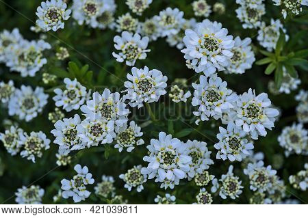 Beautiful Closeup View Of White Candytuft (iberis) Flowers With Tiny Yellow Filaments Growing In Her