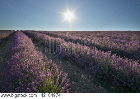 Meadow of lavender at day. Nature composition.