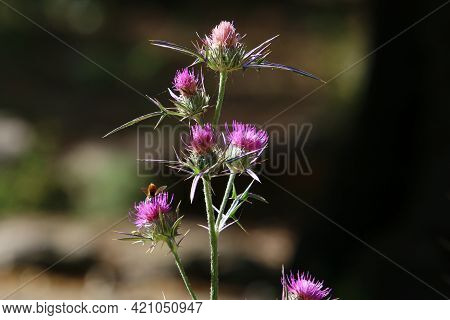 Thistle Thickets In A Forest Clearing In Northern Israel. Milk Thistle Close Up.