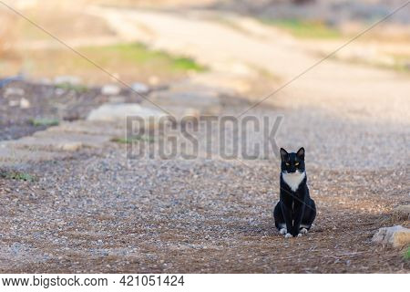 A Cat With A White Breast Sits On A Country Road. Yellow-eyed Cat Blocked Your Way. This Cat Has An