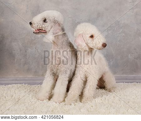 Two Pedigreed Bedlington Terrier Dog On A Fur Rug Against A Gray Background In The Studio