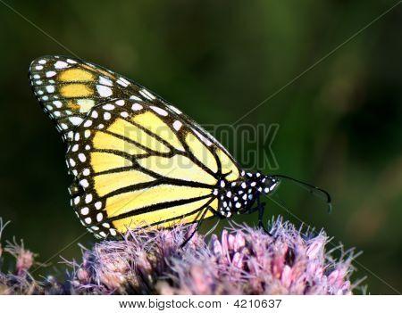 Portrait of Monarch butterfly feeding outside on pink flower poster