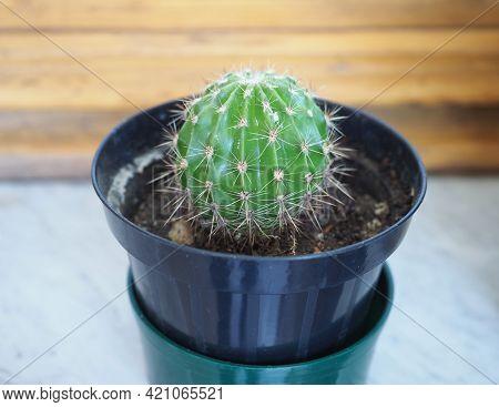 Cactus (cactaceae) Plant