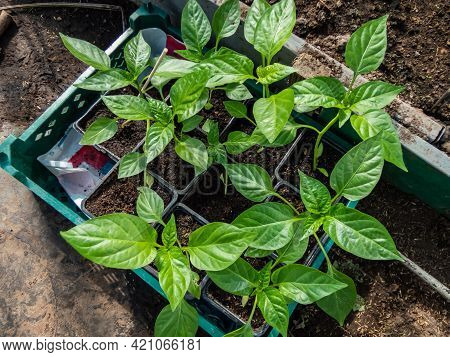 Box Of Home-grown Small Pepper Plants Growing In Pots In Greenhouse. Vegetable Seedlings In Pots, Ge