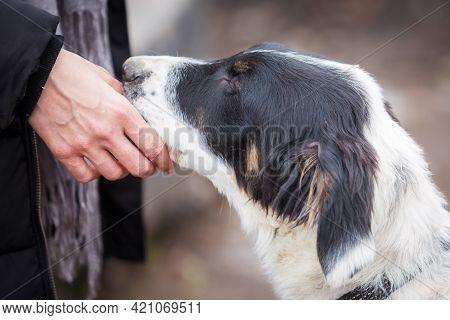 Bulgarian Shepherd Karakachan Dog Admiring Human Hand, Pet Adoption Concept