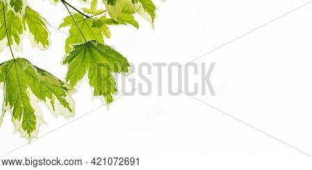 Banner With Beautiful Green-white Leaves On White Backdrop.